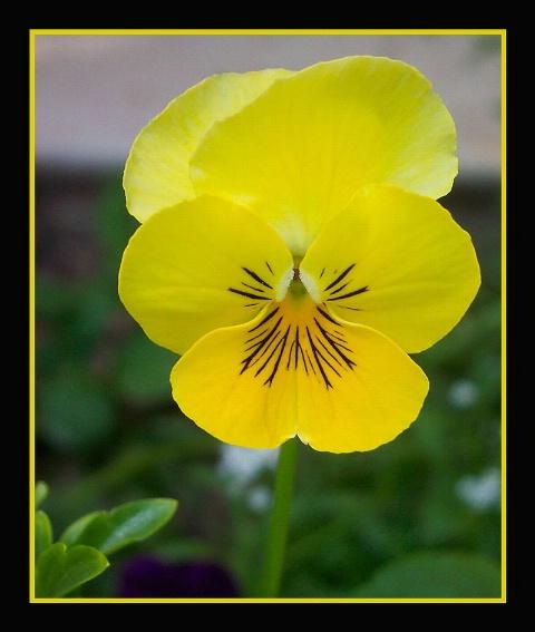 Yellow Pensy