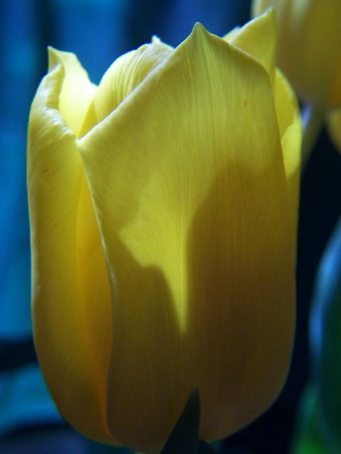 Tulip warmed by Sunlight