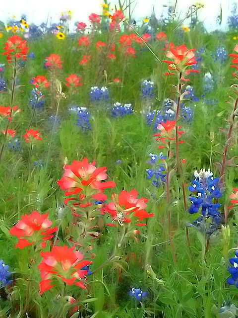 ...texas bluebonnets and indian paintbrushes.