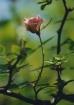 Posed Rose