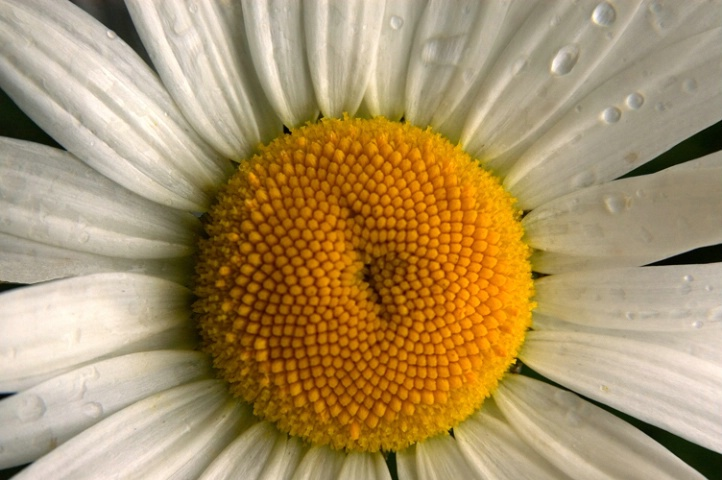 Daisy Face - ID: 835158 © Virginia Ross