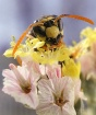 Munchin on Pollen