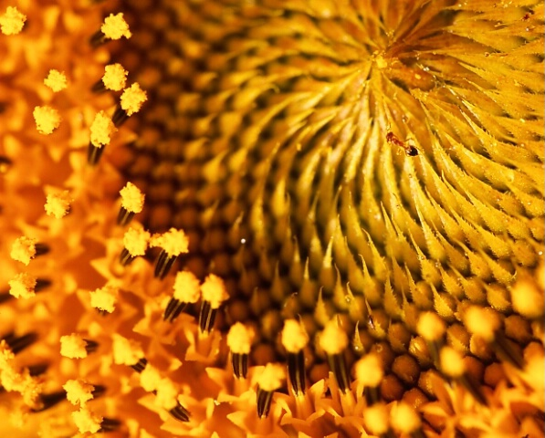 A macro shot of a sunflower nectar and an ant.