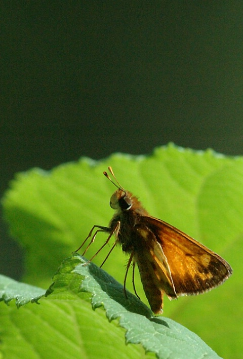 A Nodding Butterfly
