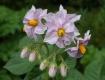 Flower of Potato
