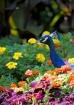Peacock Garden