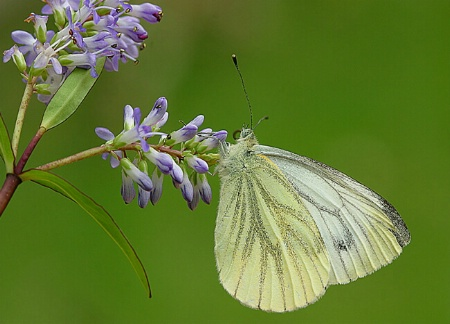 Green Veined White on Hebe