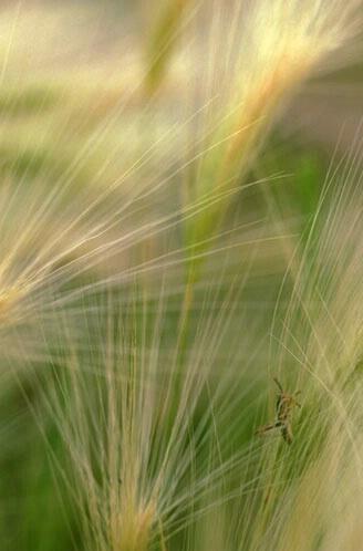 Grasshopper in Grass - ID: 498437 © Brian d. Reed
