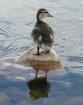 Duck Tales (#1)