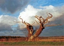 The Stag Horn Tree