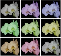 Variation on Orchid