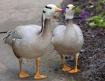 Bar Head Geese