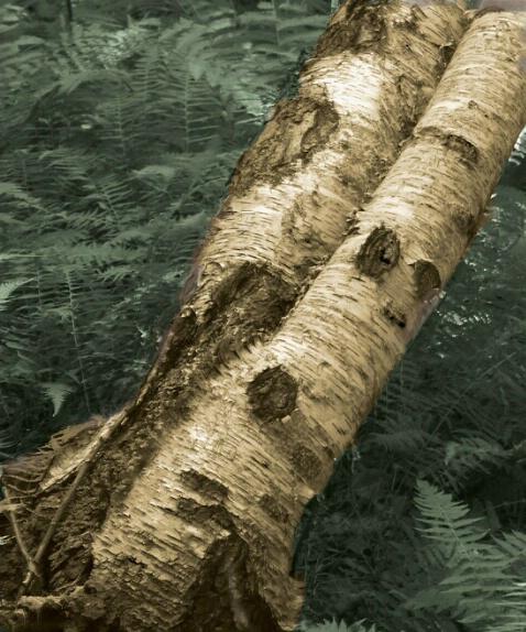 The Fallen Birch - ID: 509497 © Sandra Hardt