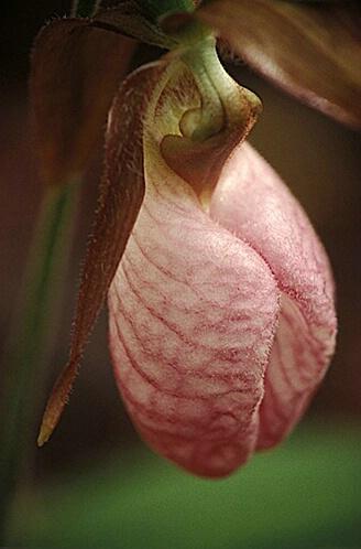 Pink Ladyslipper - ID: 513943 © Brian d. Reed