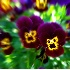 © Jacqueline Stoken PhotoID# 517358: Violets - Blurred & enhanced