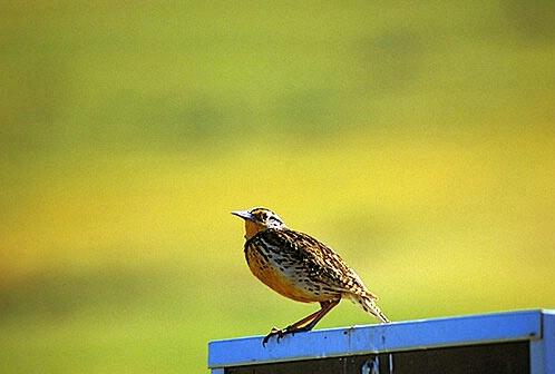 Meadowlark - ID: 518445 © Brian d. Reed