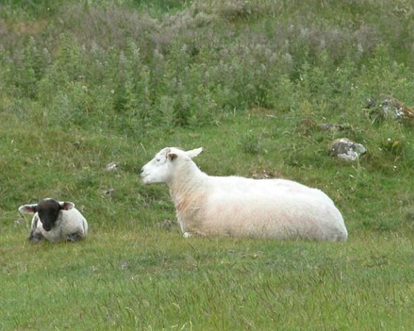 Lamb and Mom - ID: 527307 © Robert A. Eck