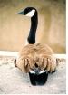 Duck...Duck...Goo...