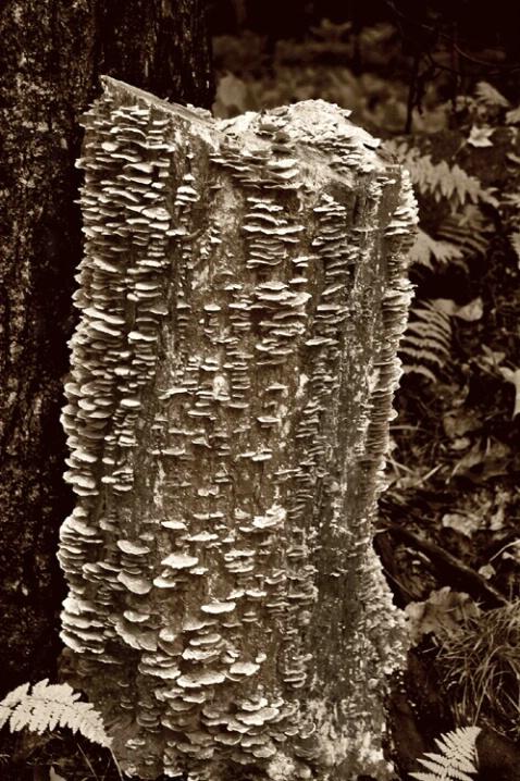 The Old Tree Stump - ID: 532974 © Sandra Hardt