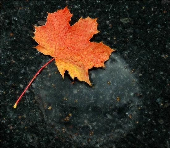 Autumn leaf II