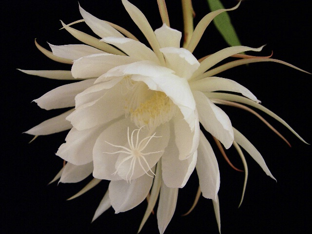Epiphyllum - One Blossom