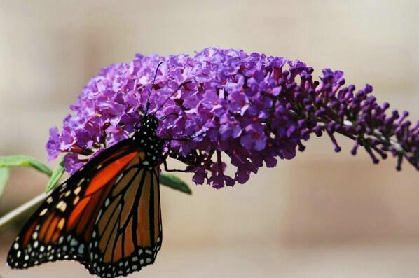 Purple Nectar - ID: 551792 © GARY  L. ROHRBAUGH