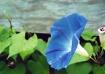 Blue Moroning Glo...