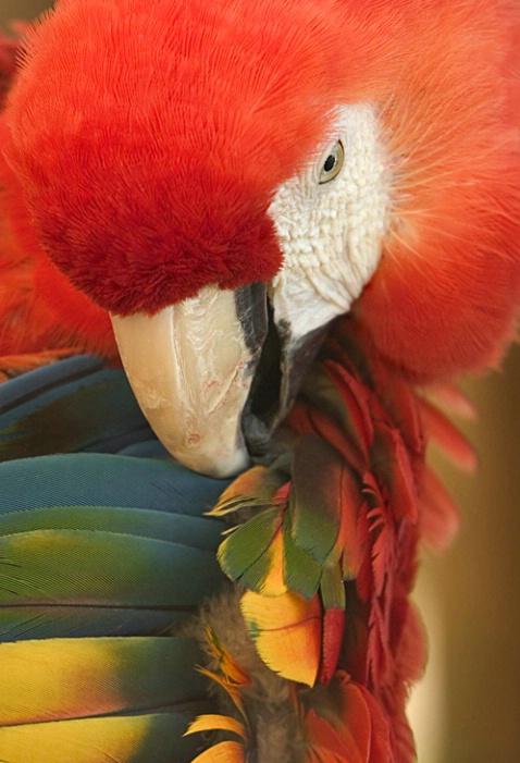 Scarlet Macaw - ID: 845380 © Mary-Ella Bowles