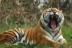 Tiger Yawn 1