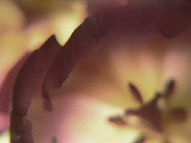 Tulip Dreams