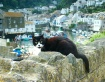 Polperro Cat