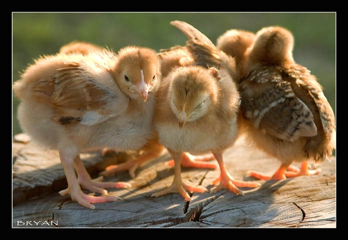 Chicken Little and His gang of Rough Necks