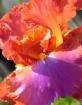 Flamboyant Iris