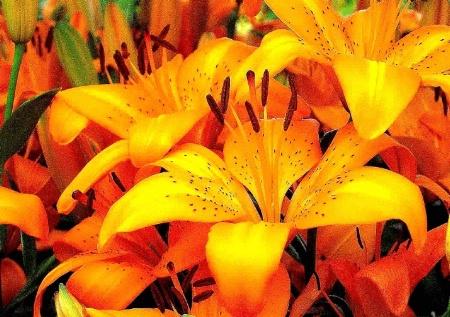 GRrr Tiger Lily