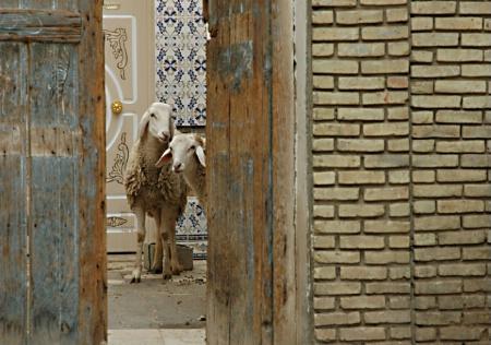 Sheepish in Tozeur, Tunisia