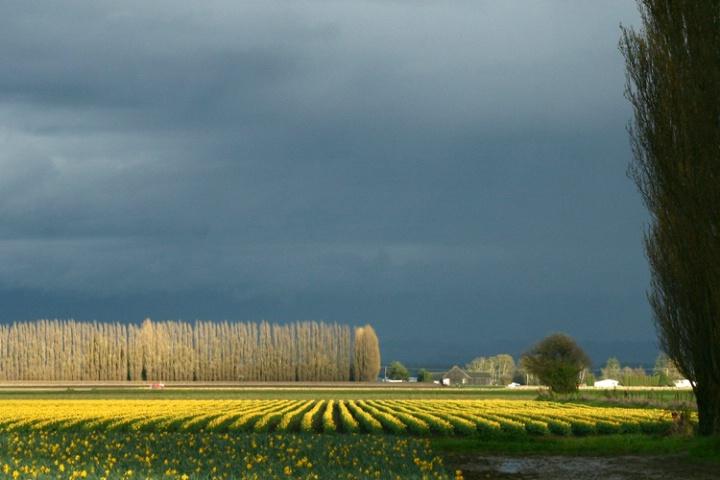 Daffodils and Poplars