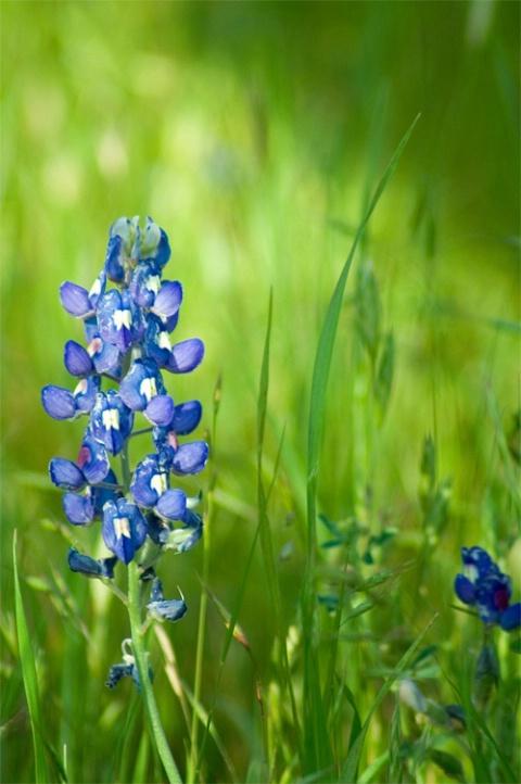 Bluebonnet in Grass