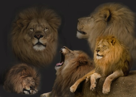 Images of the Lion King