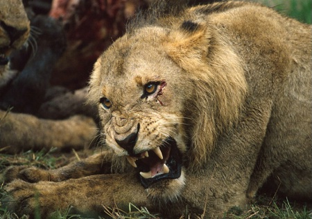 Young Lion-South Africa
