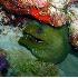 © Kristin A. Wall PhotoID # 877039: Green Moray eel F215