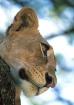 Lioness-Tanzania