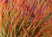 Pincusion Protea