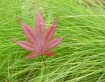 red leaf in grass