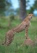 Cheetah-South Afr...