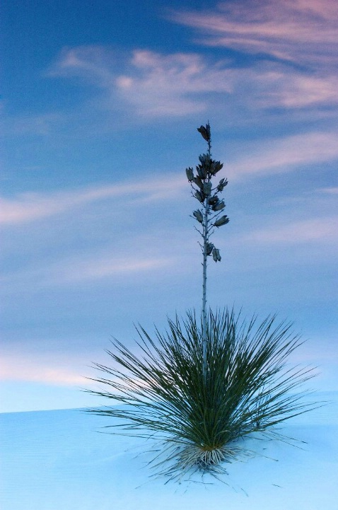 White Sands Yucca at Sunset - ID: 889737 © Ron Heusser