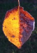 The Burning Leaf