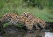 Leopards-South Af...