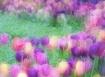 A Tulip Gathering