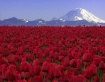 Blanket of Red