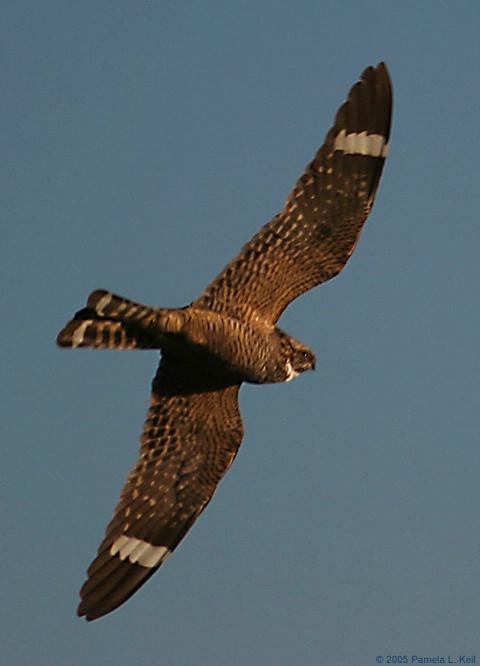 Nighthawk 3